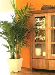 planta-kentia-en-salon