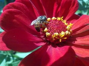 lysaflores-abeja-y-zinnia