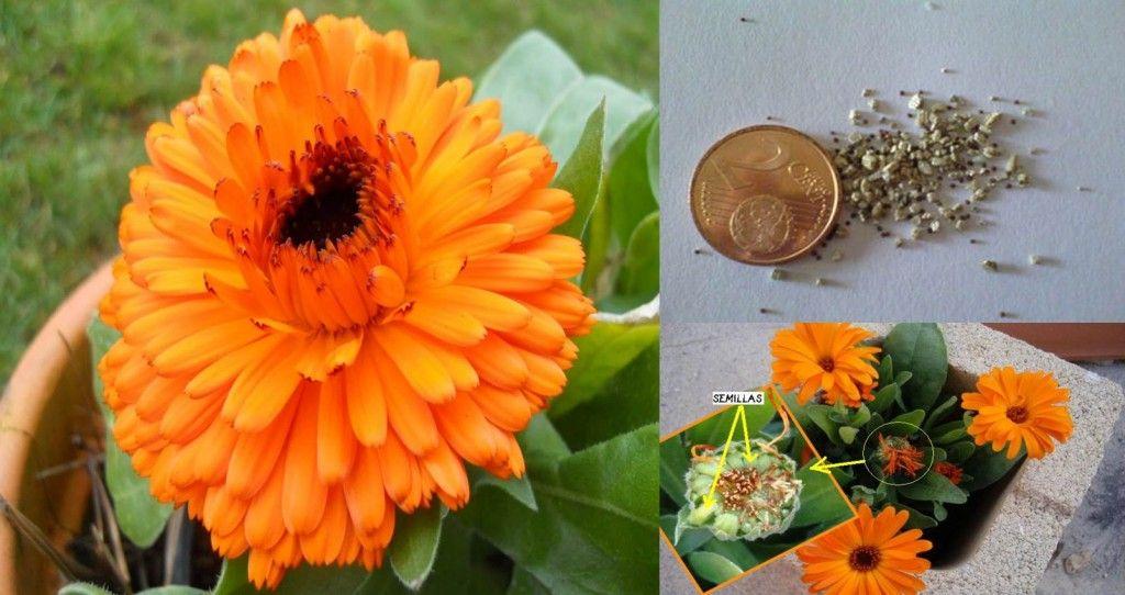 lysaflores-blog-calendula