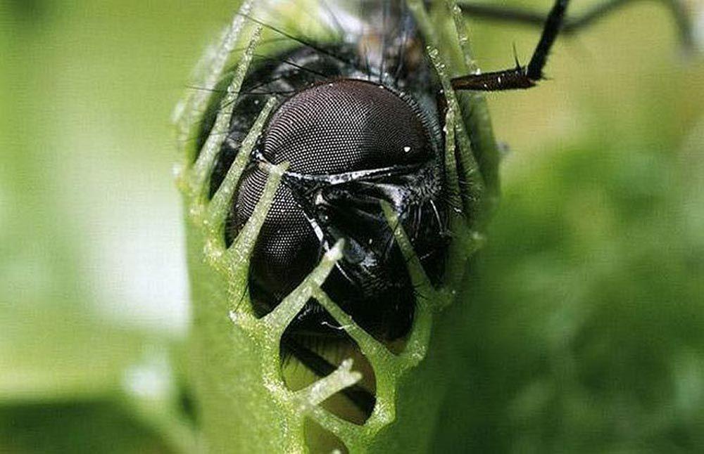 mome-moscas