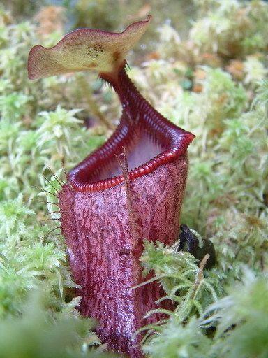 planta-jarra-de australia