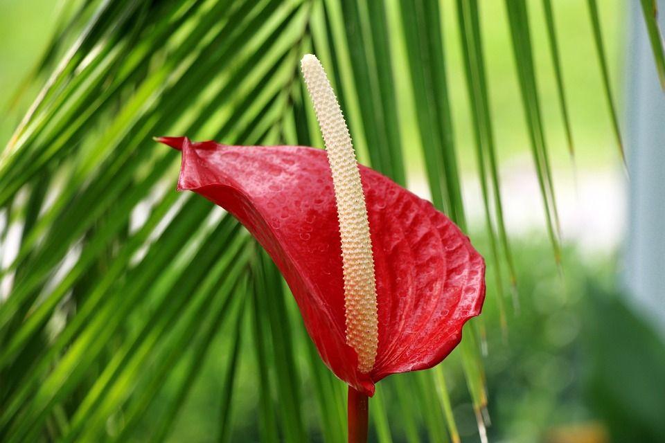 C mo cuidar el anthurium y mantenerlo siempre bello for Plantas de interior anturio