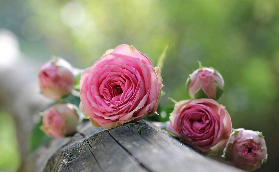 Cual es el significado de los colores de las rosas - Significado de los colores de las rosas ...