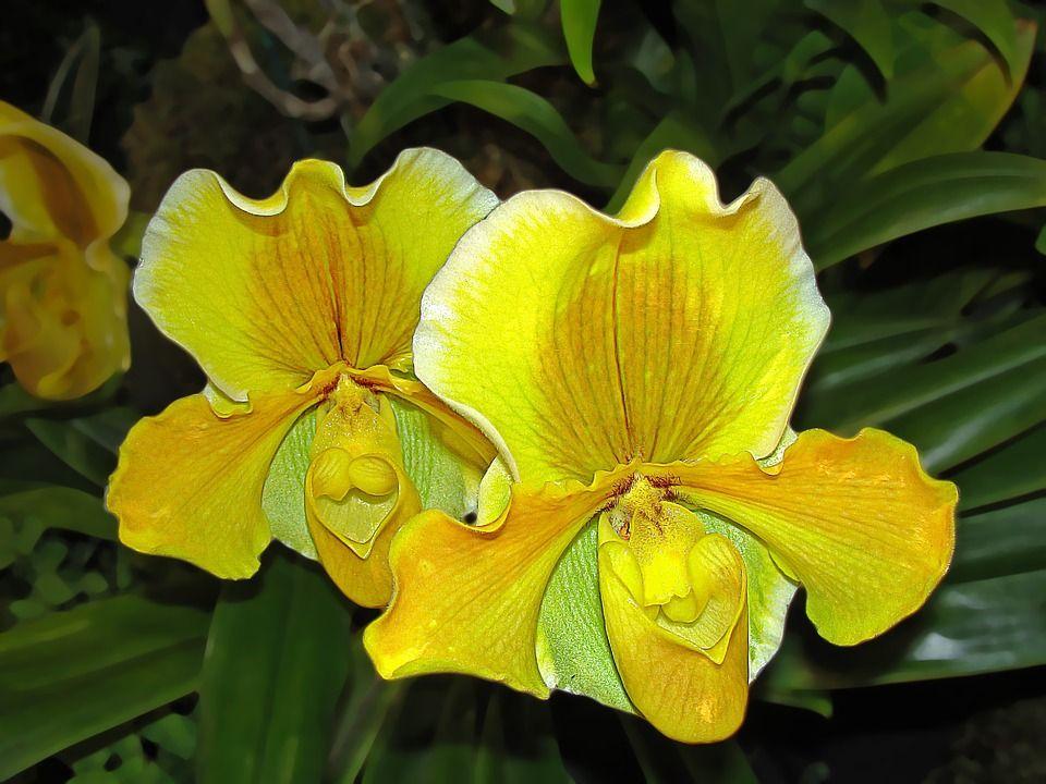 Significado de las orquídeas amarillas