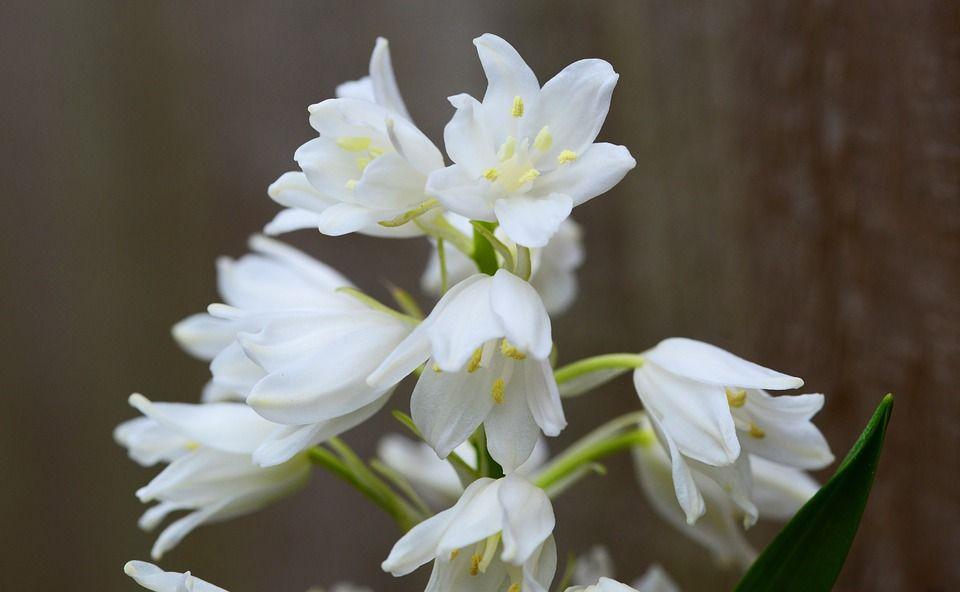Cuidados del jacinto de verano tambi n llamado galtonia - Jacinto planta cuidados ...