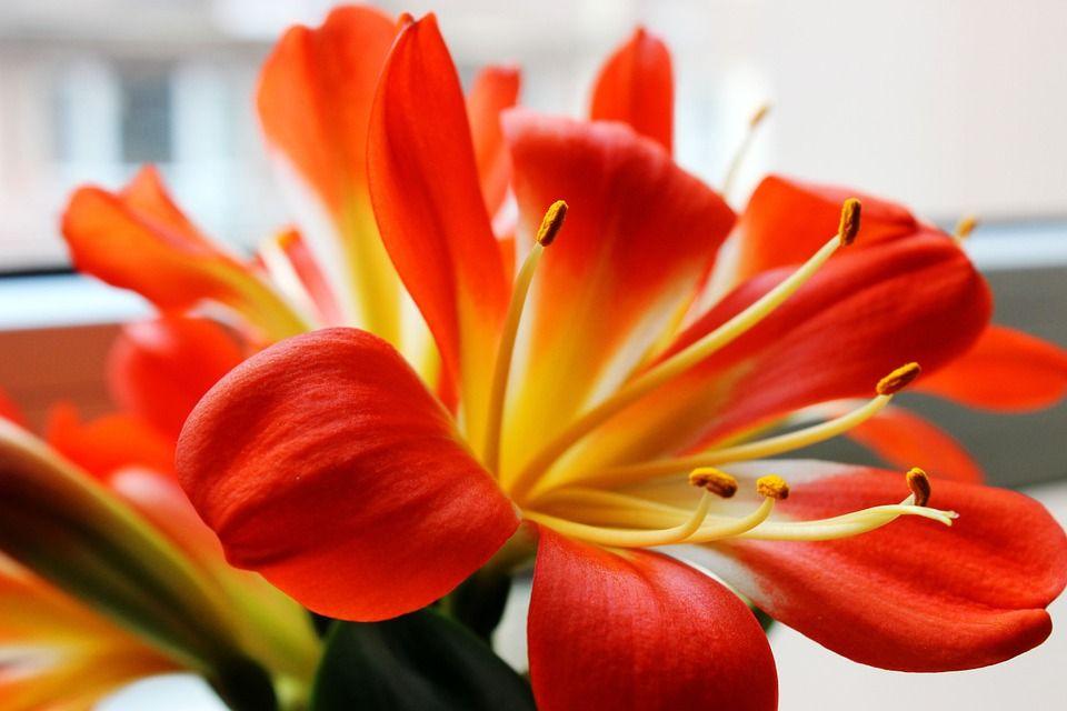 La Clivia Una Planta Con Hermosas Flores En Forma De Trompeta