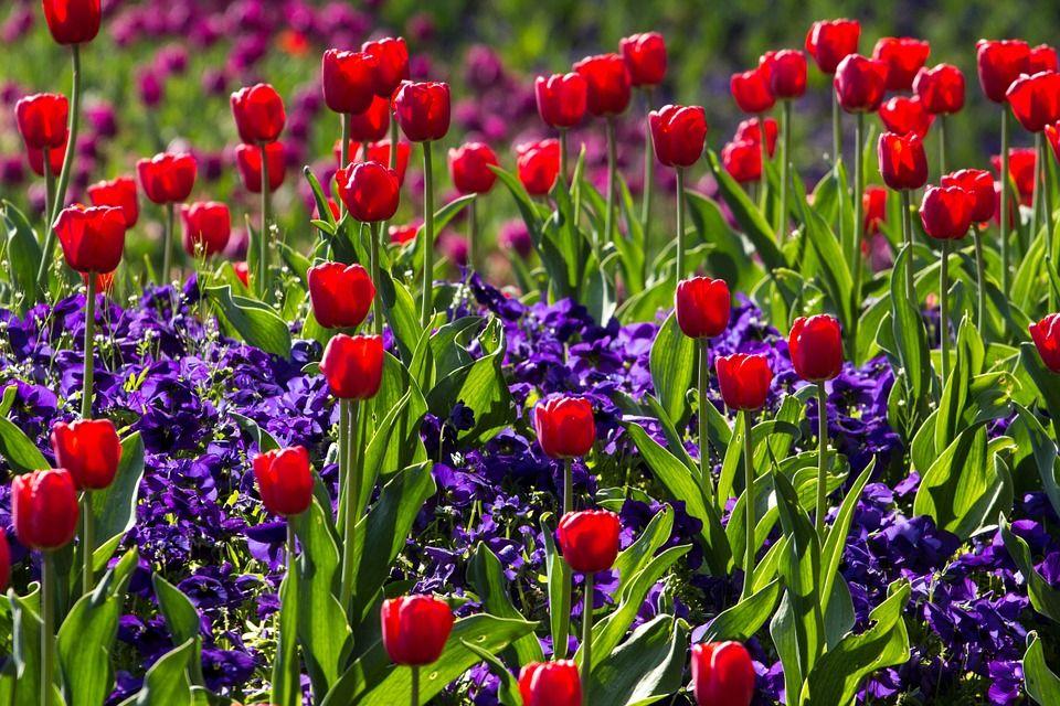 tulipanes-rojos