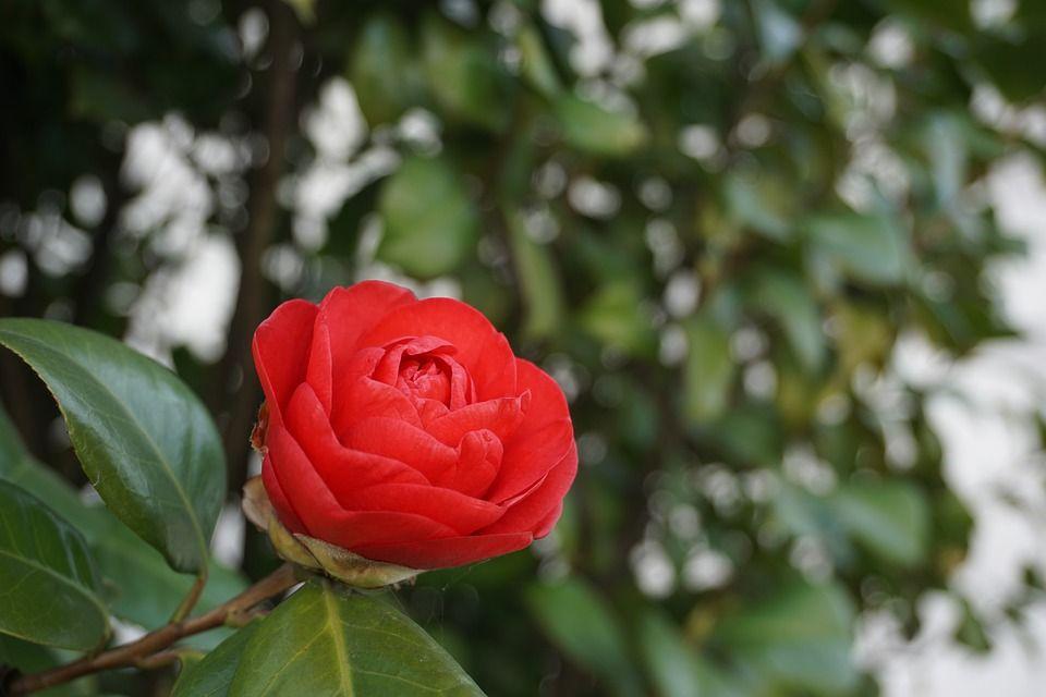 Caracter sticas y cuidados de la camellia jap nica - Cuidados de la camelia ...