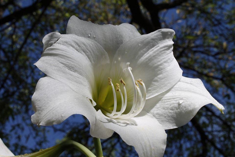 amaryllis-belladona