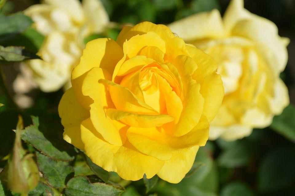 Descubre el significado de las flores amarillas en este post - Significado rosas amarillas ...