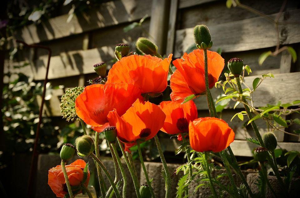 poppy-1444245_960_720