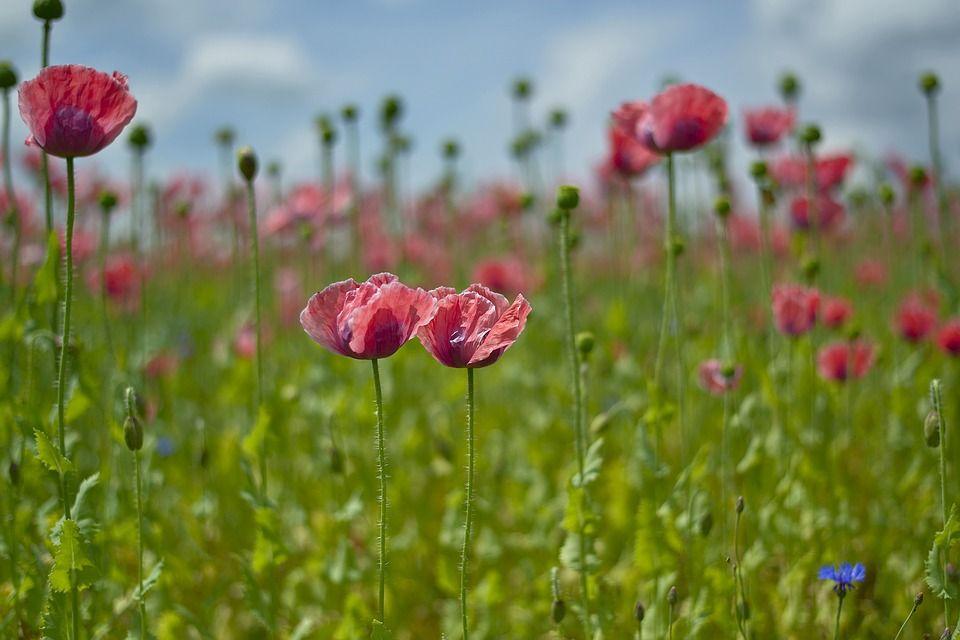 poppy-1814695_960_720