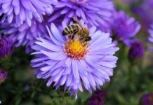 flores preferidas de las abejas