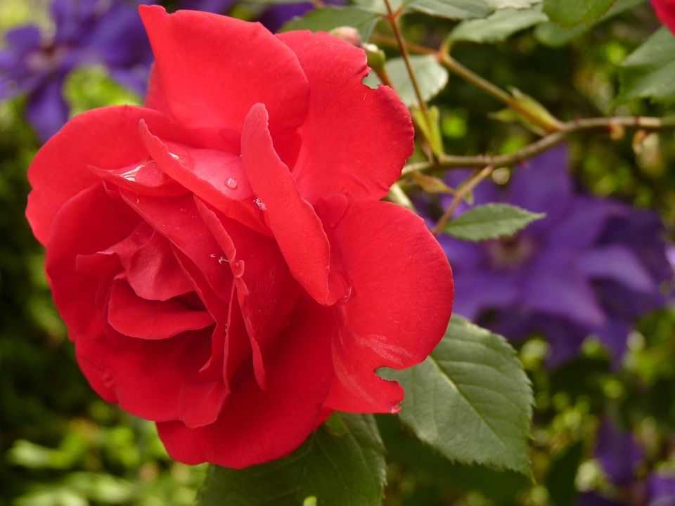 Conoce El Significado De Las Rosas Según Su Color