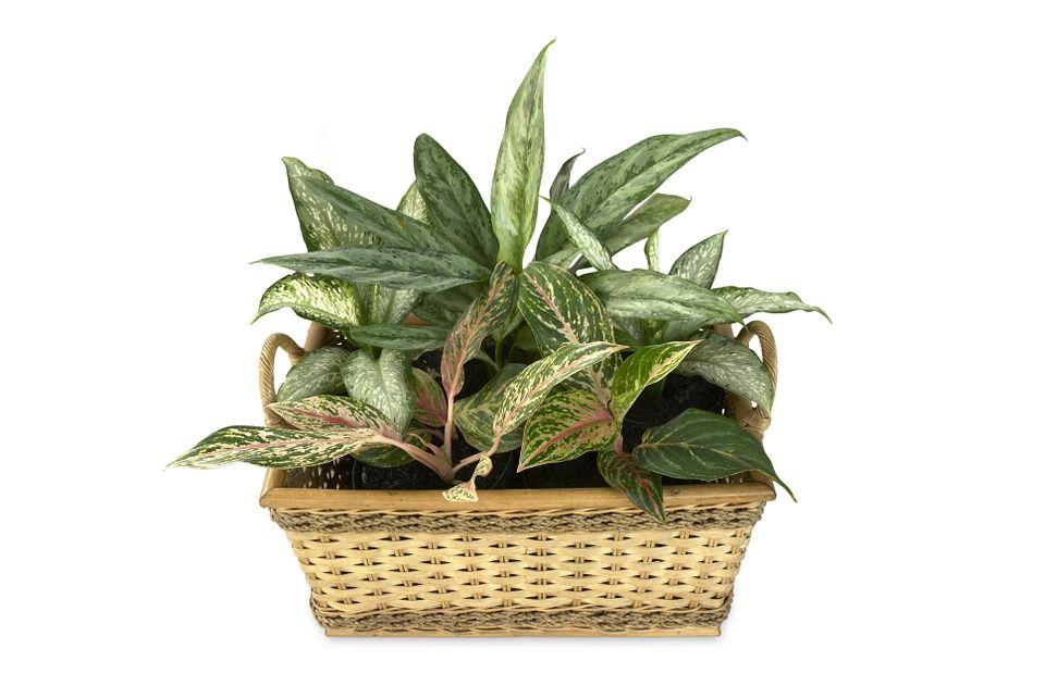 Aglaonema Una Planta De Interior Super Decorativa - Plantas-bonitas-de-interior