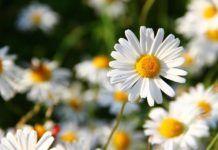 Flores para regalarle al signo Cáncer