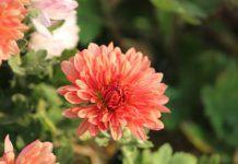 Qué flores regalar a Géminis