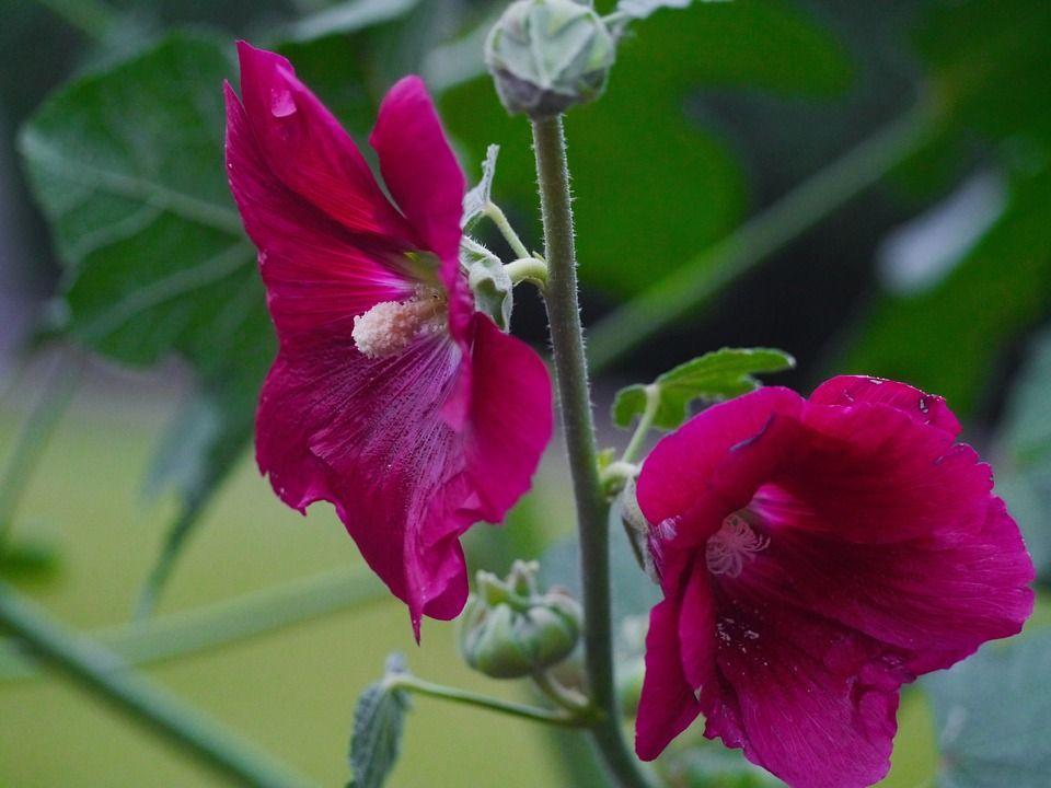 Cuidados y propagaci n de la malva real althaea for Malvarrosa planta