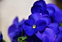 Qué flores regalar a Virgo