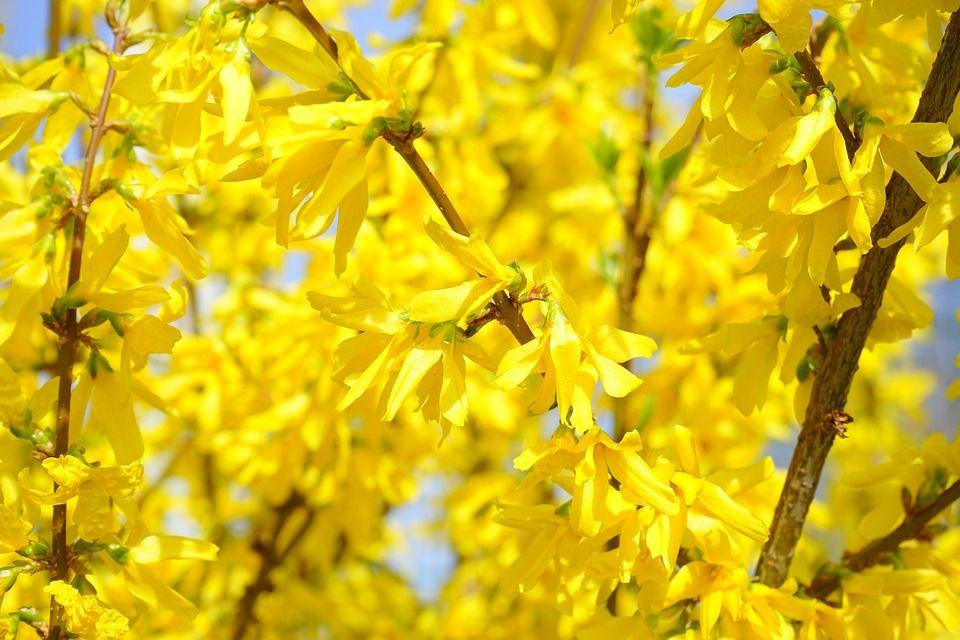 Forsythia Un Arbusto De Flor Que Se Usa Para Confeccionar Ramos - Arbustos-de-flor