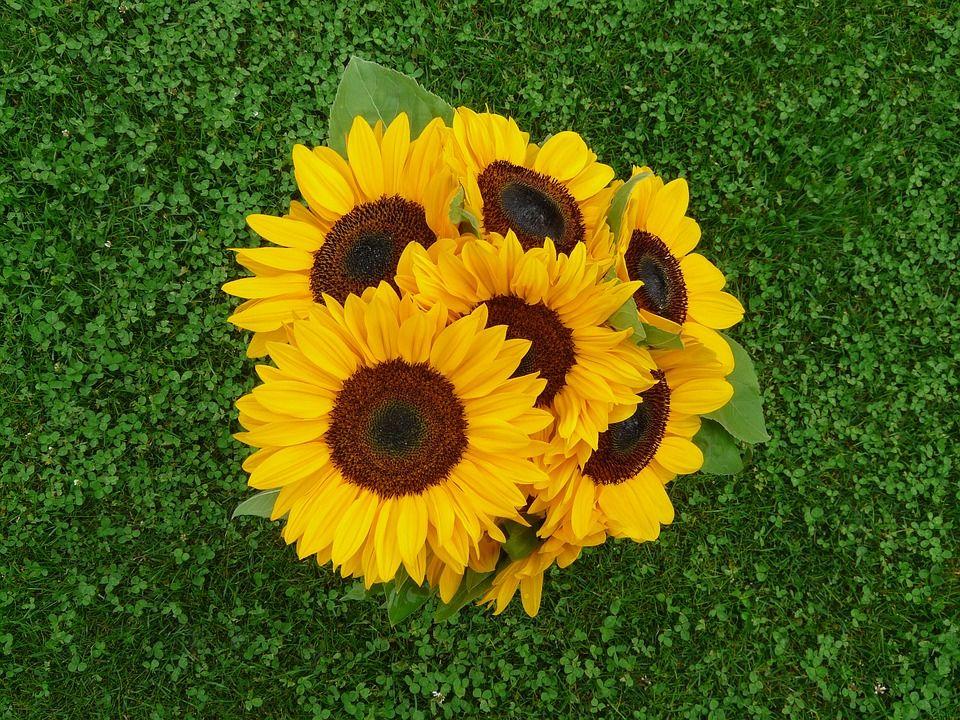 Girasol Una Flor Hermosa Con Un Gran Significado