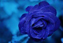 leyenda de la rosa azul