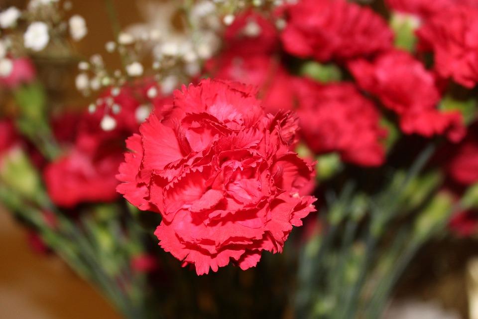 Conozcamos un poco más al Clavel, la flor nacional de España