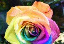 Como obtener rosas arcoíris o rainbow