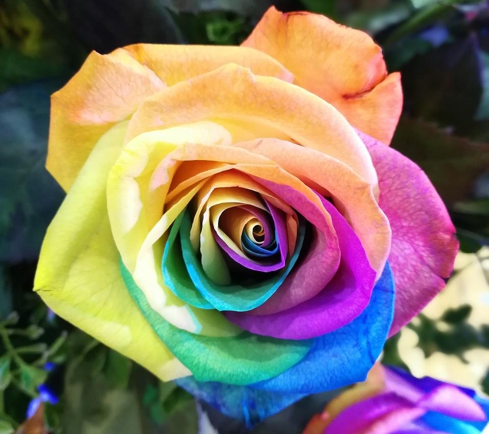 Descubre El Paso A Paso Para Hacer Rosas Arcoíris