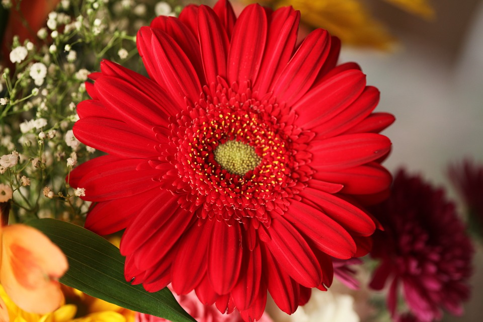 Conoce a la Gerbera, una bonita flor para confeccionar ramos
