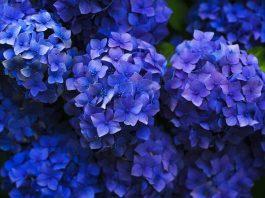 Hortensia plantas peligrosas