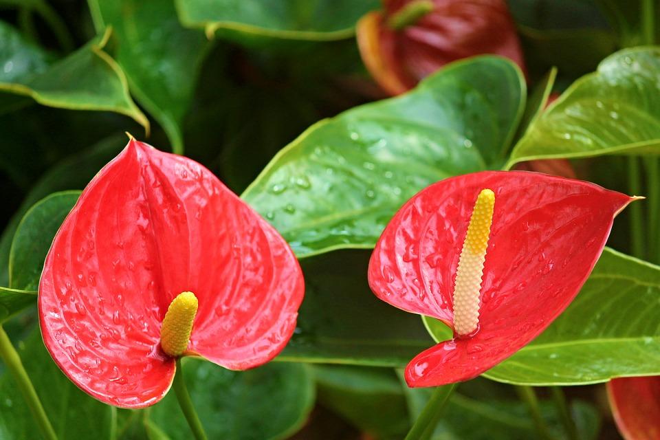 Flor de Anthurium