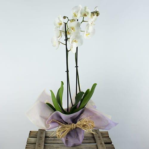regalar orquidea phalanopsis blanca a domicilio