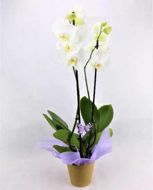 regalar phalanopsis blanca