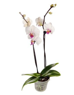 regalar orquidea blanca a domicilio en en el dia